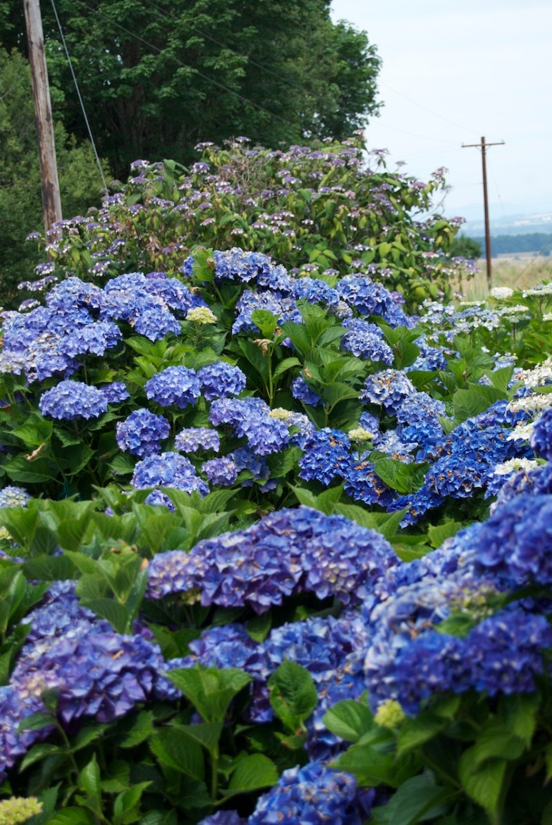 Large Of Twist And Shout Hydrangea