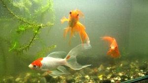 金魚すくいの金魚 飼育 方法 1