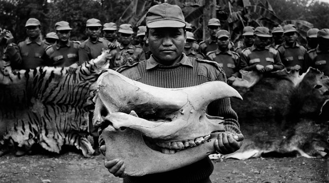 Bharatpur, Chitwan National Park, Nepal 01/2004 At the Bharatpur barracks a Royal Forestry Department Officer holds a rhino skull. The stockpile of items is 5 years old and the value is an estimated $750,000 USD.