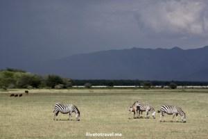 Zebras under a dark sky in Lake Manyara