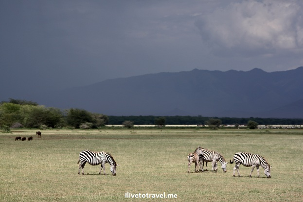 Zebras under a dark sky in Lake Manyara