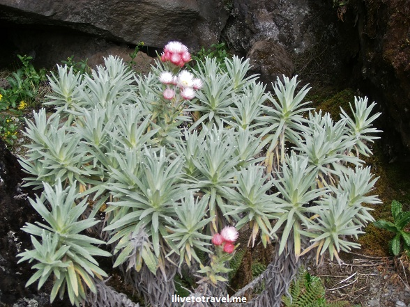 Plant in the moorlands terrain of Kilimanjaro