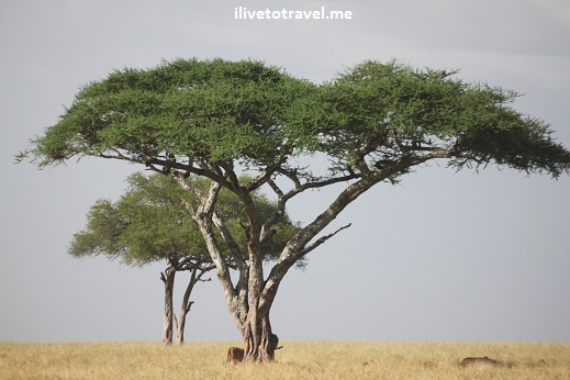 Safari, Serengeti, Tanzania, wildlife, animls,lions, acacia, outdoors, nature, photo, Canon EOS Rebel
