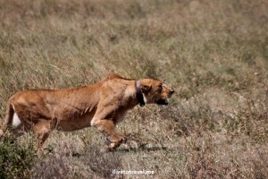 Lioness, lion kill, wildebeest, Serenget, safari, Tanzania, photo essay