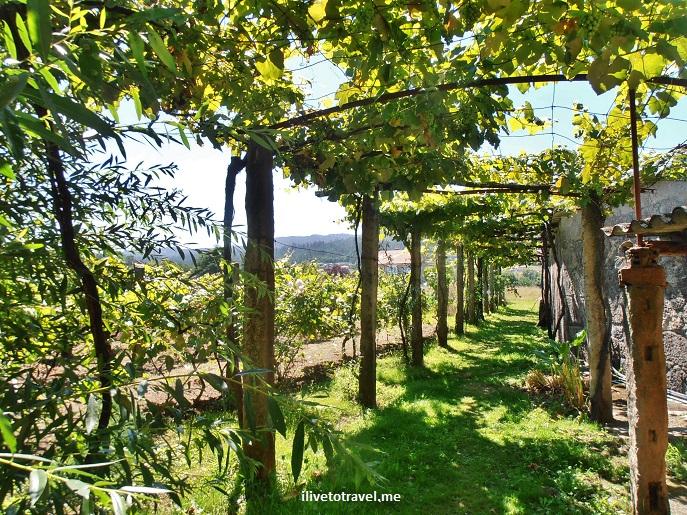 vines, green, Bastavales, Galicia, Spain, photo, Olympus