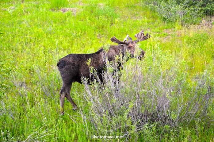 Grand Teton National Park, Wyoming, Grand Tetons, outdoor, nature, mountain, travel, hiking, bull moose