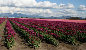 Tulips Fields in Skagit Valley, Washington