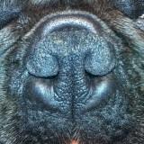 Brachycephalic Dogs & Breathing Problems