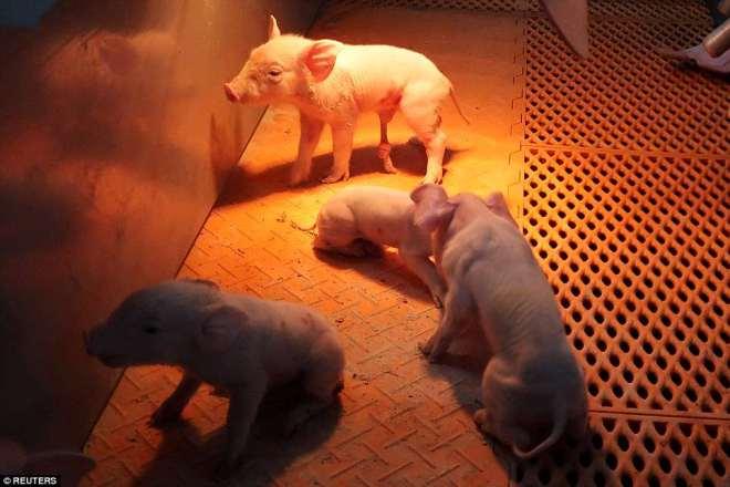 """""""Chung cư"""" cao tầng dành cho lợn ở Trung Quốc - 10"""