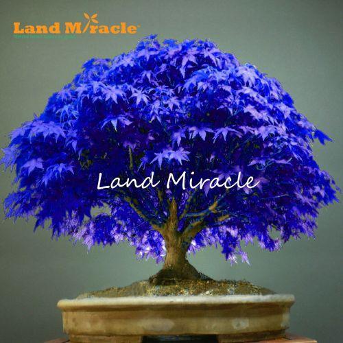 Medium Crop Of Blue Maple Tree
