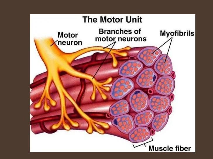 Motor Unit Definition Anatomy   kakamozza.org