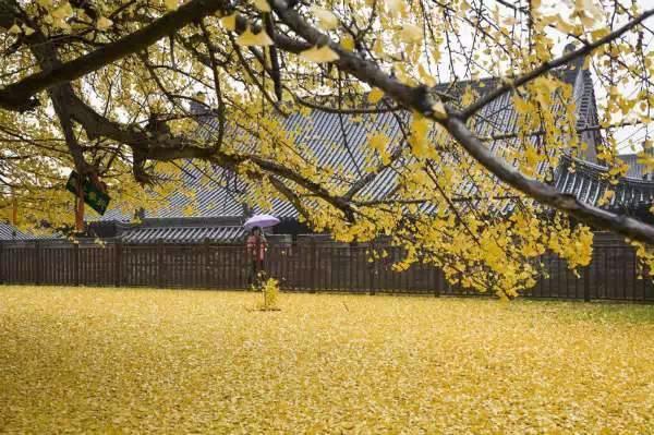 Chinese ginkgo tree01