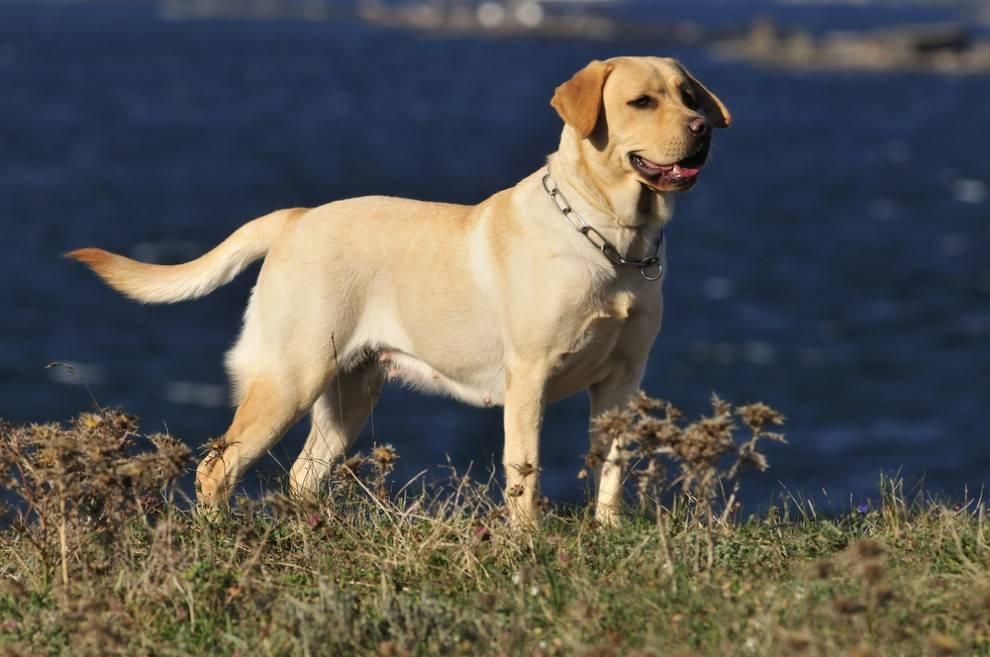 Best Dog Names Male Labrador