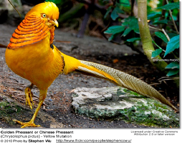 Golden Pheasant Most Amazing Exotic Birds