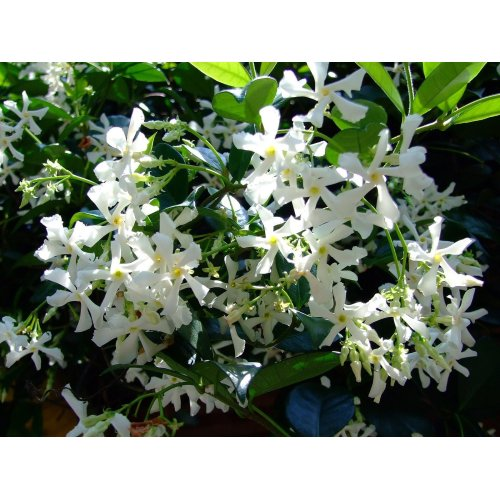 Medium Crop Of Star Jasmine Vine