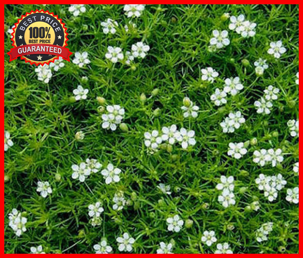 Fullsize Of Irish Moss Ground Cover