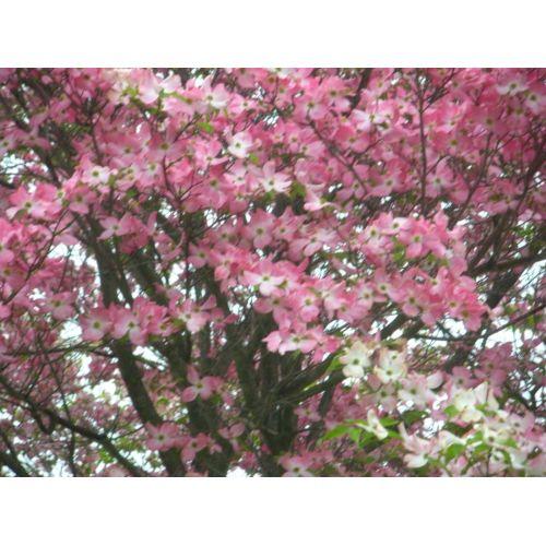 Medium Crop Of Pink Dogwood Tree