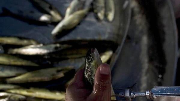 Un hombre vacuna un salmón en las pisciculturas de una salmonera (EFE)