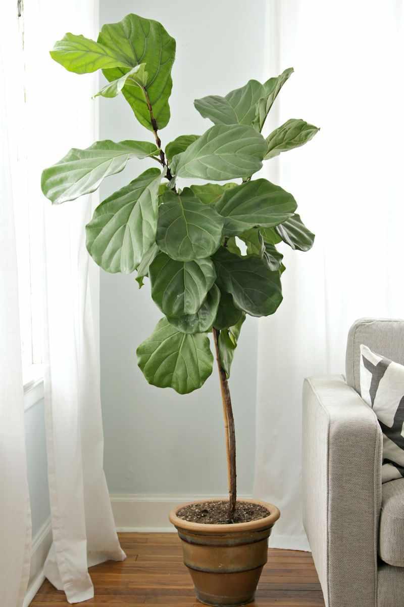 plantas de interior ficus lyrata o ficus pandurata. Black Bedroom Furniture Sets. Home Design Ideas