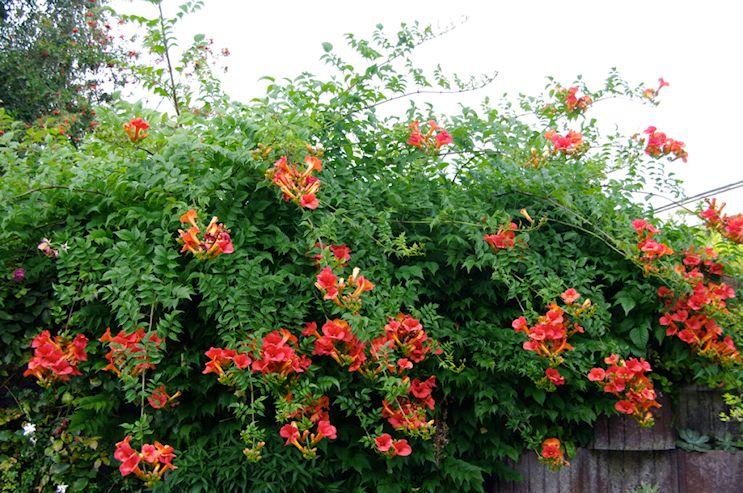 Jardiner a y plantas 10 enredaderas y plantas trepadoras for Plantas trepadoras para muros