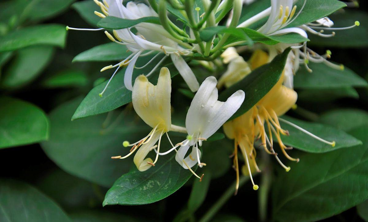 Jardiner a y plantas 10 enredaderas y plantas trepadoras - Madreselva planta ...