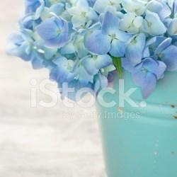 Blue Pastel Color Hydrangea Flowers Stock Photos Freeimages Com