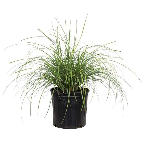 Medium Crop Of Japanese Silver Grass