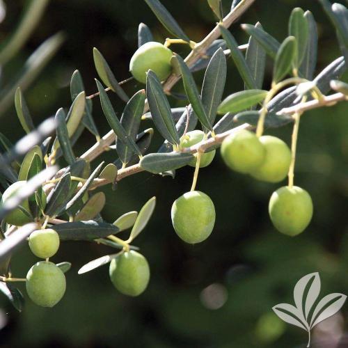Medium Crop Of Home Depot Fruit Trees