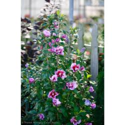 Soulful Winter Sharon Live Proven Winners Purple Pillar Rose Purple Pillar Rose Sharon Hedge Grow Rose Sharon Live How Fast Does Rose Sharon Hedge