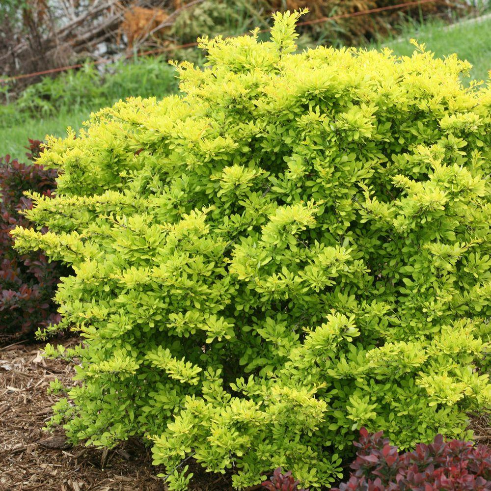 Ideal Sunjoy Citrus Barberry Live Bright G Proven Winners Sunjoy Citrus Barberry Live Shrub Orange Rocket Barberry Invasive Orange Rocket Barberry Pruning houzz-03 Orange Rocket Barberry