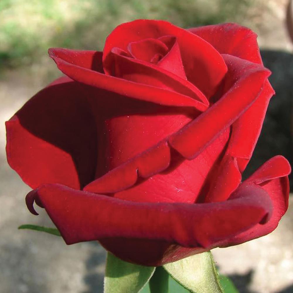 Fantastic Mea Nursery Fragrant Red Rose Chrysler Imperial Plant Mea Nursery Fragrant Red Rose Chrysler Imperial Chrysler Imperial Rose Seeds Chrysler Imperial Rose Size houzz-03 Chrysler Imperial Rose