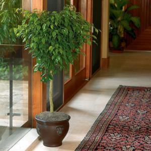 Robust Ficus Medium House Plants Plants Home Depot Home Depot Low Light Houseplants Home Depot Tropical House Plants