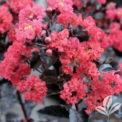 Small Crop Of Tonto Crape Myrtle