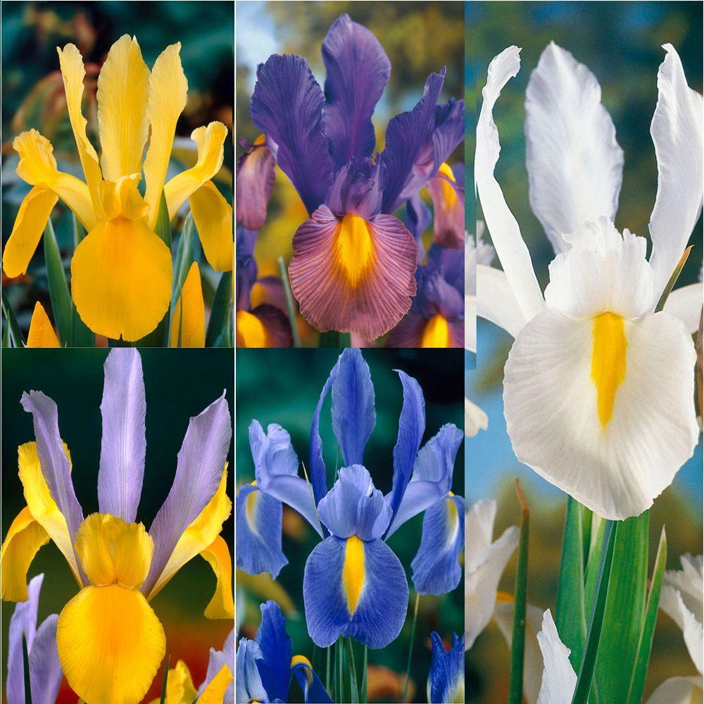 Stylized Sale Australia Care Free Rewarding Dutch Iris Bulbs Iris Flower Bulbs Garden Plants Flowers Home Depot Iris Bulbs Sale Texas Bearded Iris Bulbs houzz-02 Iris Bulbs For Sale