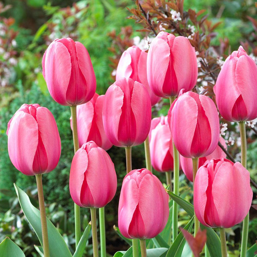 Robust Texas How To Store Tulip Bulbs After Blooming Bloomsz Darwin Tulip Bulbs Pink Impression Flower Bulb Bloomsz Darwin Tulip Bulbs Pink Impression Flower Bulb How To Store Tulip Bulbs houzz-03 How To Store Tulip Bulbs