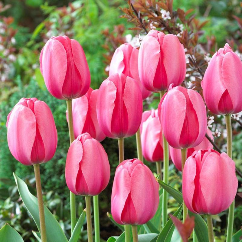 Large Of How To Store Tulip Bulbs