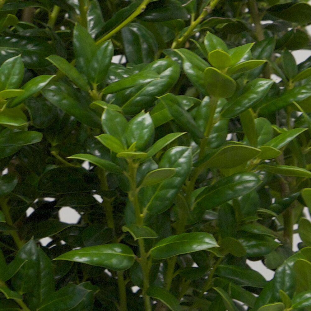 Fullsize Of Dwarf Burford Holly