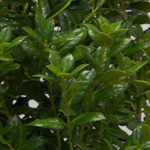 Medium Of Dwarf Burford Holly