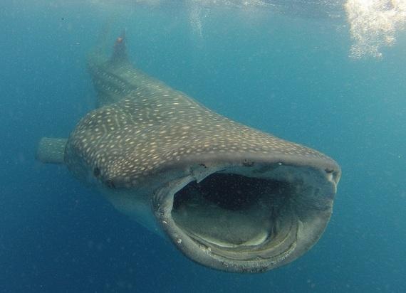 2015-07-03-1435939835-5757509-Whalesharkcropped.jpg