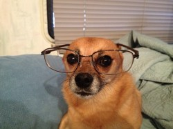 Graceful Glasses Sunglasses Glasses Pics Dogs Dogs Free Download Free Stock Photo Dog