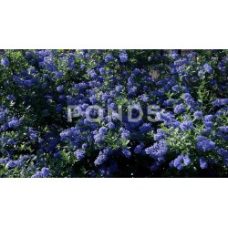 Small Crop Of Ceanothus Dark Star