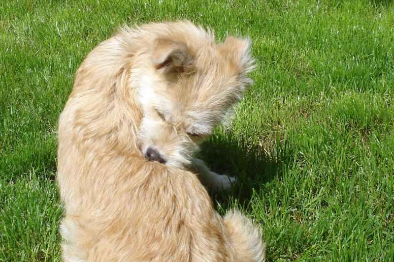 Large Of Flea Bites On Dogs