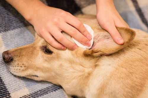 Medium Of How To Treat Dog Ear Infection Without Vet