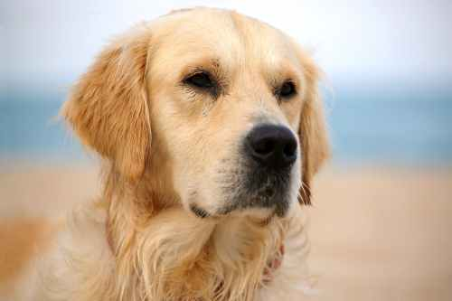 Medium Of Golden Retriever Cost