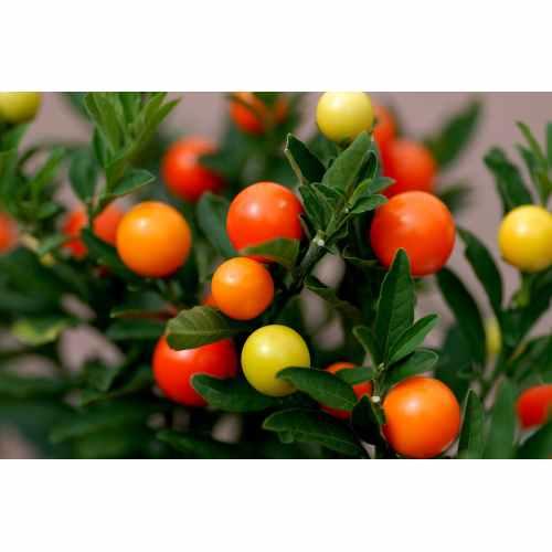 Medium Crop Of Ornamental Pepper Plant