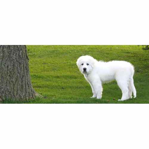 Medium Crop Of Big White Fluffy Dog