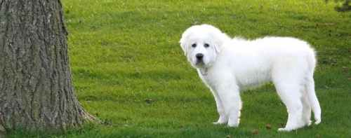 Medium Of Big White Fluffy Dog
