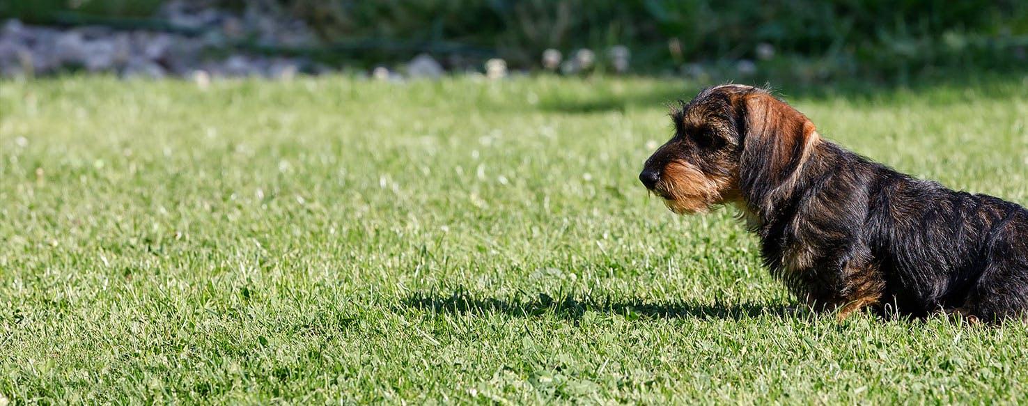 Fullsize Of Why Do Female Dogs Hump