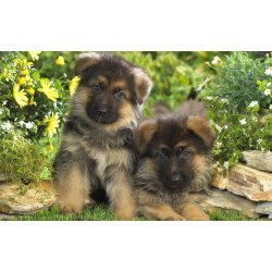 Small Crop Of Cute German Shepherd