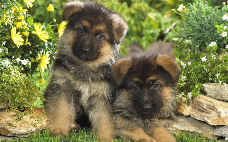Large Of Cute German Shepherd